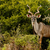 greater kudu standing and smiling stock photo © markdescande