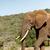 elefánt · sétál · mező · erdő · természet · utazás - stock fotó © markdescande