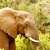 Bush · słoń · stałego · jedzenie · trawy - zdjęcia stock © markdescande