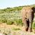 africano · arbusto · elefante · rebanho · elefantes · caminhada - foto stock © markdescande
