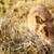 common warthog so into his grass stock photo © markdescande