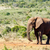 afrikai · bokor · elefánt · néz · erdő · természet - stock fotó © markdescande