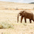 egy · boldog · afrikai · bokor · elefánt · sétál - stock fotó © markdescande