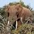 bokor · elefánt · áll · mögött · ágak · tele - stock fotó © markdescande