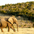 african bush elephant on the way to the water stock photo © markdescande