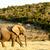 afrikai · bokor · elefánt · út · víz · afrikai · elefánt - stock fotó © markdescande