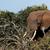 bokor · elefánt · ágak · áll · mező · agyar - stock fotó © markdescande