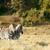 zebra · em · pé · campo · verde · arbusto · céu - foto stock © markdescande