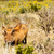 животного · уродливые · глядя · Африка · Постоянный · Буш - Сток-фото © markdescande