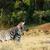 zebra · szeretet · kettő · égbolt · fű · háttér - stock fotó © markdescande