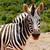 zebra · néz · mi · égbolt · fű · háttér - stock fotó © markdescande