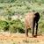 afrikai · elefánt · emel · láb · séta · erdő · természet - stock fotó © markdescande