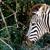 ピン · シャープ · シマウマ · 見える · 木 · 草 - ストックフォト © markdescande