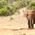 bokor · elefánt · áll · egyedül · erdő · természet - stock fotó © markdescande