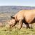 zwarte · neushoorn · lopen · zout · afrika - stockfoto © markdescande