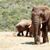 African Elephant walking away from the dam stock photo © markdescande