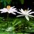 два · желтый · Лилия · изолированный · белый · цветок - Сток-фото © maros_b