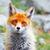 rouge · Fox · séance · regarder · caméra · yeux - photo stock © martin33