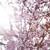 spring cherry blossoms stock photo © marylooo
