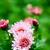 pink dahlia in a garden stock photo © marylooo