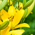 yellow lily flowers stock photo © marylooo