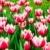 チューリップ · 植物園 · 花 · 自然 · 赤 · 白 - ストックフォト © marylooo