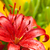 belo · vermelho · lírio · flor · natureza - foto stock © marylooo