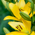 yellow lily flowers stock photo © marylooo