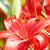 su · damlası · kırmızı · çiçek · beyaz · doğa · yaz - stok fotoğraf © marylooo