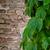 charakter · bluszcz · pozostawia · vintage · ściany · starych - zdjęcia stock © marylooo