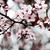 cseresznyevirágzás · izolált · rózsaszín · cseresznyevirág · virágok · közelkép - stock fotó © marylooo