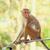sri lanka monkey sitting on the tree stock photo © massonforstock