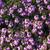 fotó · gyönyörű · lila · virágzó · virágok · csodálatos - stock fotó © massonforstock
