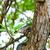 varanus on a tree stock photo © massonforstock