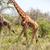 girafa · grama · Quênia · África · boca · parque - foto stock © master1305