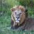 лев · трава · саванна · глазах · кошки - Сток-фото © master1305