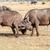 iki · Güney · Afrika · doğa · çift - stok fotoğraf © master1305