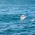 white swan flying stock photo © master1305