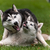 portrait of two dogs   siberian husky stock photo © master1305