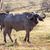 wild african buffalokenya africa stock photo © master1305