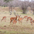 antelopes on a background of grass stock photo © master1305