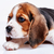 bigle · cachorro · branco · cão · triste · jovem - foto stock © master1305