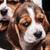 bigle · cachorro · branco · triste · 1 · mês · velho - foto stock © master1305
