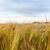 молодые · пшеницы · растущий · зеленый · фермы · области - Сток-фото © master1305