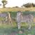 gepárd · Afrika · Kenya · vad · afrikai · gyönyörű - stock fotó © master1305