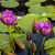 pink lotus blossoms or water lily flowers stock photo © master1305