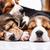 Beagle · собака · спальный · молодые · щенок · подушкой - Сток-фото © master1305
