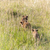 oroszlán · medvebocs · alföld · Kenya · zöld · fű · baba - stock fotó © master1305