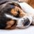 beagle · cane · dormire · giovani · cucciolo · cuscino - foto d'archivio © master1305