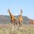 három · zsiráfok · nyáj · szavanna · vad · Kenya - stock fotó © master1305